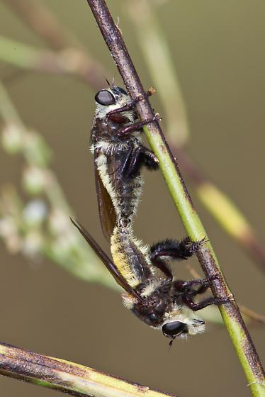 Mallophora fautrix - male - female