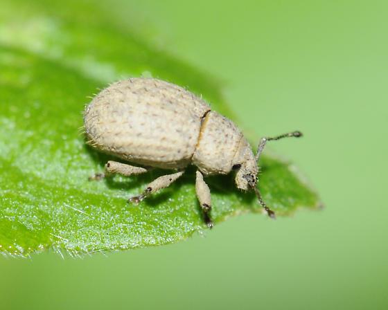 Phyxelis rigidus