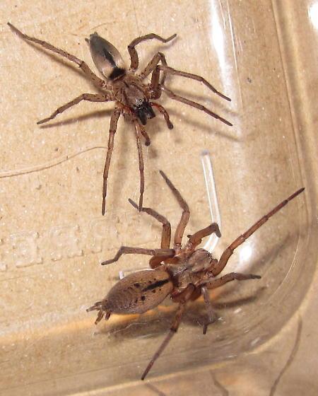 Adult Male and Female - Drassodes neglectus - male - female
