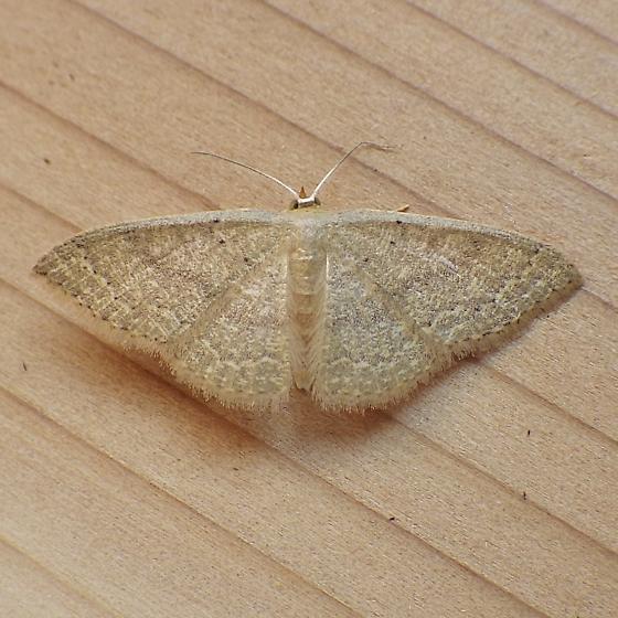 Geometridae: Pleuroprucha insulsaria - Pleuroprucha insulsaria