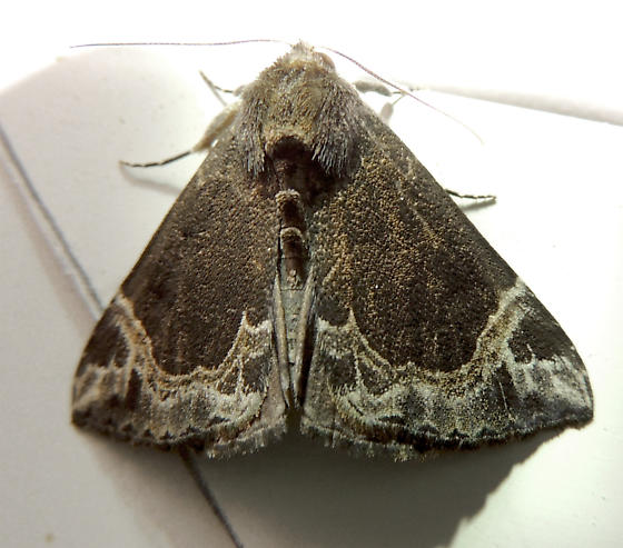 White-lined Bomolocha - Hypena abalienalis