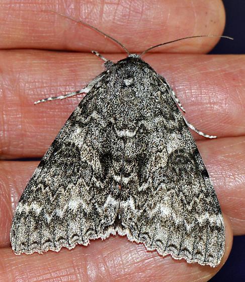 Unknown Moth-3 - Catocala unijuga