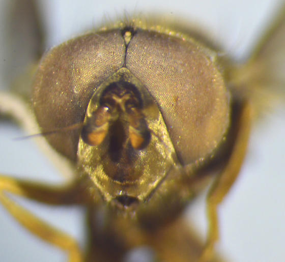 Syrphid - Ferdinandea - male