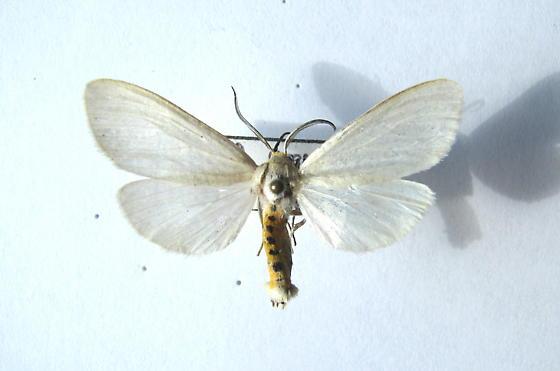 Oregon Cycnia - Cycnia oregonensis
