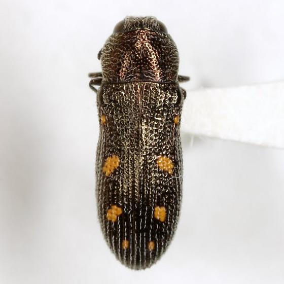 Acmaeoderopsis hulli (Knull)  - Acmaeoderopsis hulli