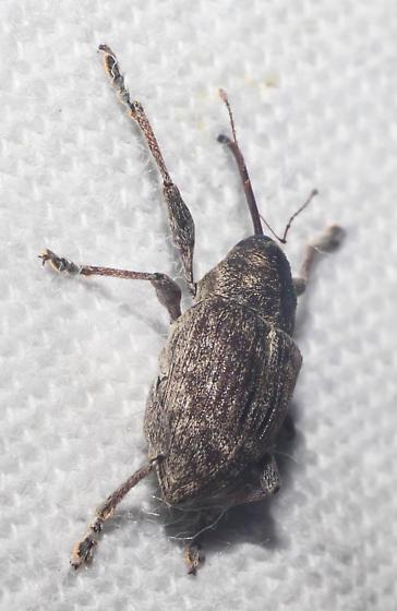 Gray weevil - Curculio