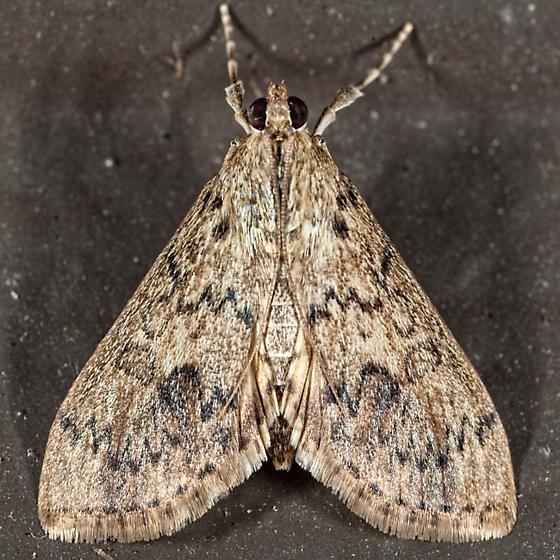 Bougainvillea Caterpillar Moth - Asciodes gordialis