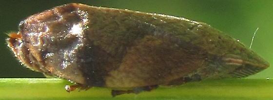 Hopper - Lepyronia