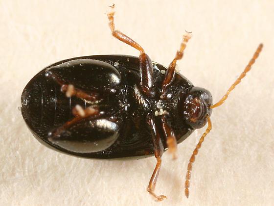 Flea Beetle - Dibolia