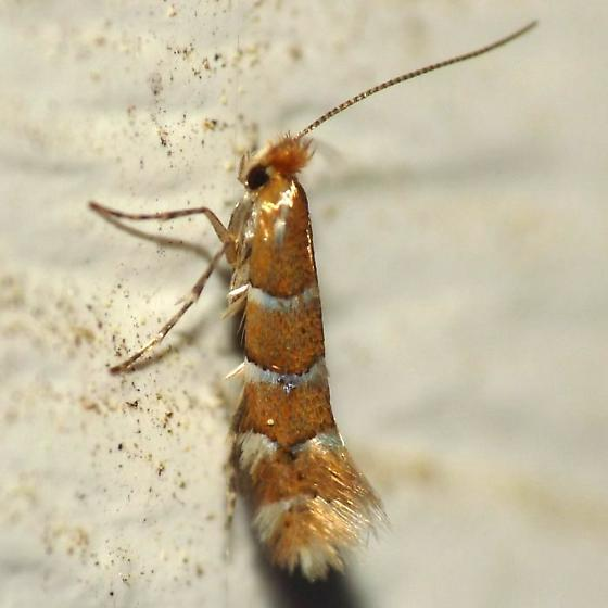 Leaf Blotch Miner Moth - Phyllonorycter mariaeella