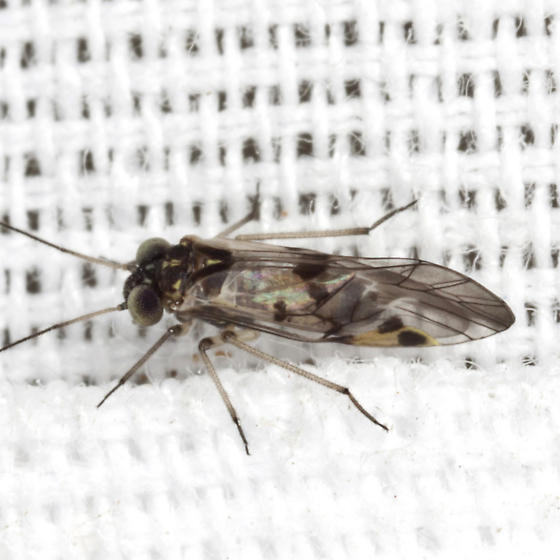 Common Barklouse - Indiopsocus lanceolatus - male