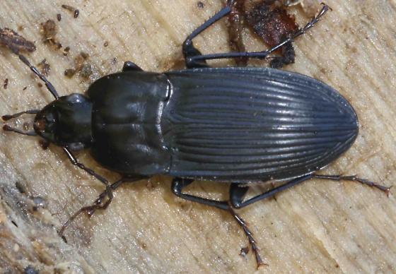carabid beetle - Dicaelus elongatus