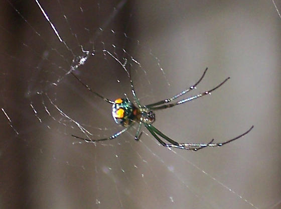 Interesting spider - Leucauge venusta