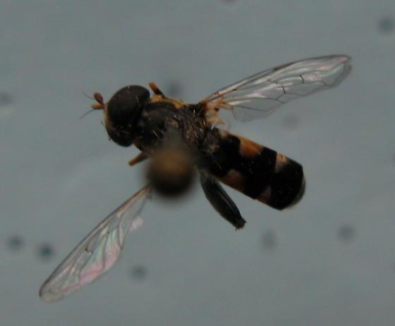 Diptera, Bombyliidae - Syritta pipiens