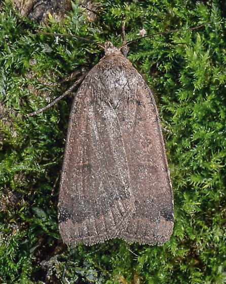 Abagrotis anchocelioides - female