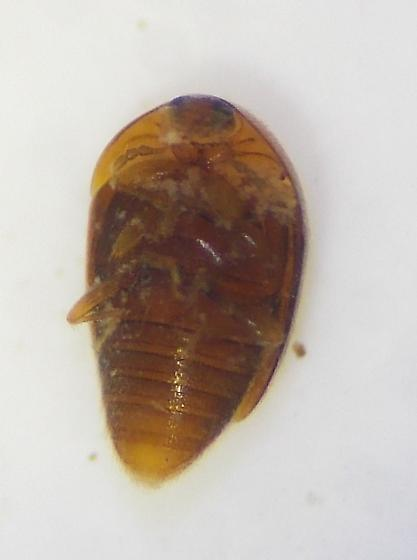 Beetle - Sericoderus