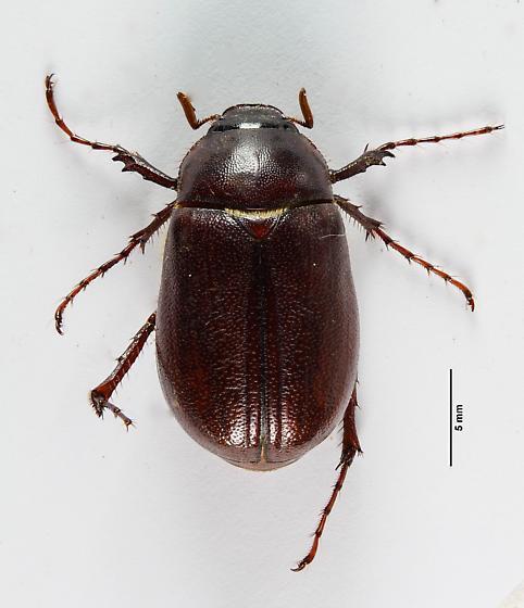 Phyllophaga? - Phyllophaga
