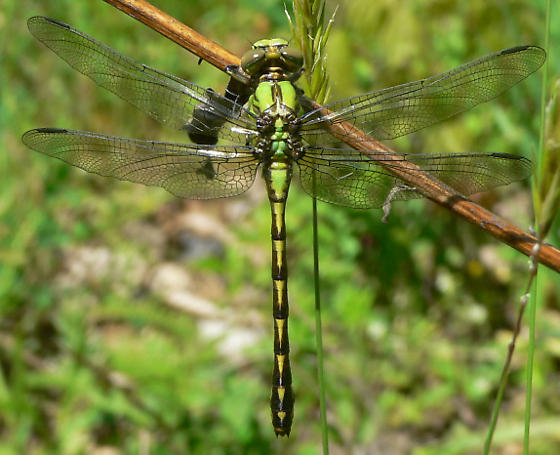 Brook Snaketail - Ophiogomphus aspersus - female