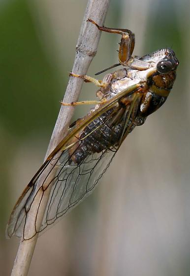 Cicada - Diceroprocta olympusa - female