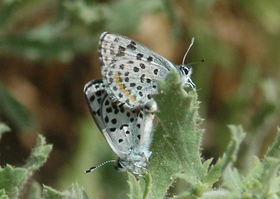 Acm*on Blue Mating Pair? Nope, Square Spotted Blue - Euphilotes bernardino - male - female