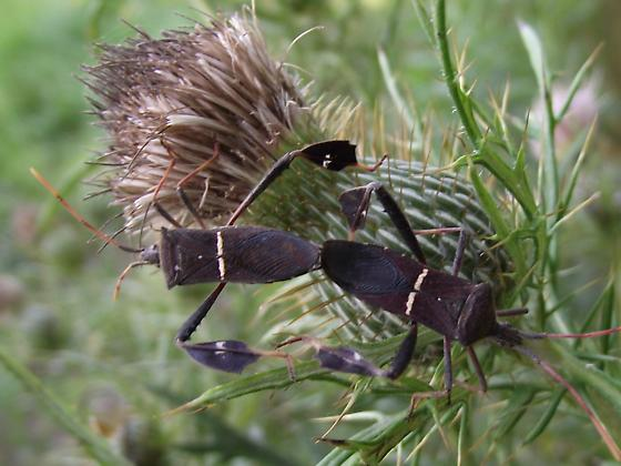 possible Eastern Leaf-footed Bug - Leptoglossus phyllopus - male - female
