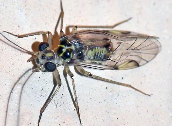 ? - Metylophorus purus