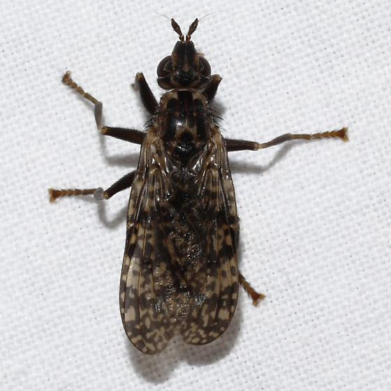 fly - Sphecomyiella valida