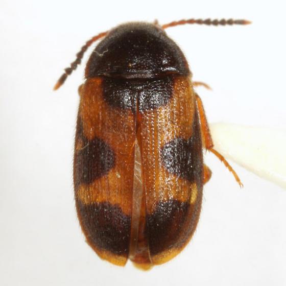 Mycetophagus punctatus Say - Mycetophagus punctatus