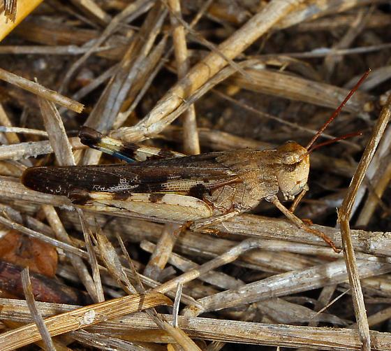 Acrididae - Chortophaga viridifasciata - male