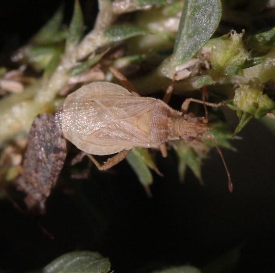 Aufeius impressicollis - male - female