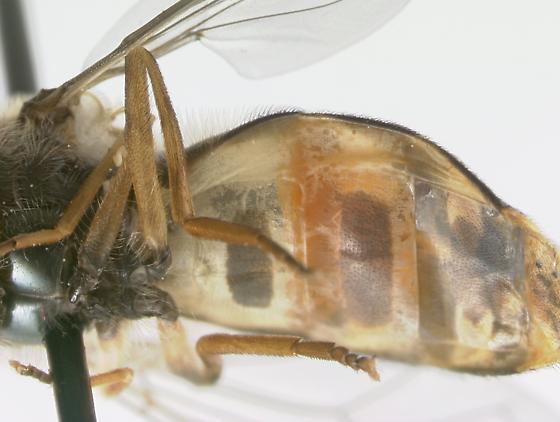 Syrphidae - Eupeodes fumipennis