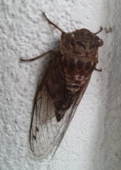 Cicada of what type? sex? - Neotibicen canicularis