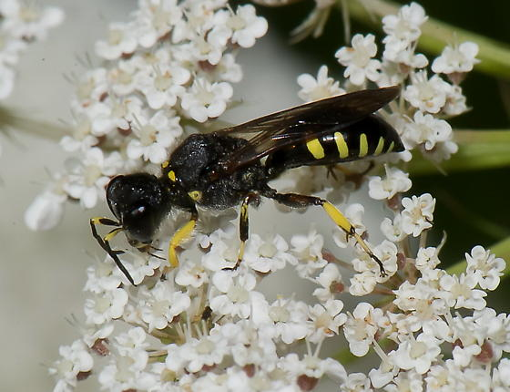 - Ectemnius maculosus - male