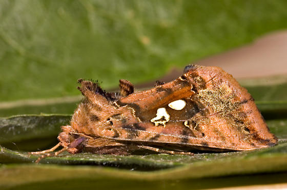 Funky Looking Moth - Autographa bimaculata
