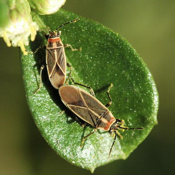 Seed Bugs - Ochrimnus mimulus - male - female