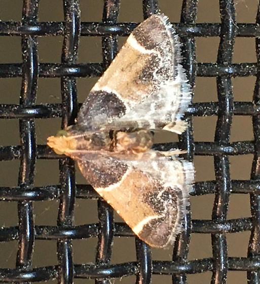 Meal Moth  (Pyralis farinalis) ?? - Pyralis farinalis