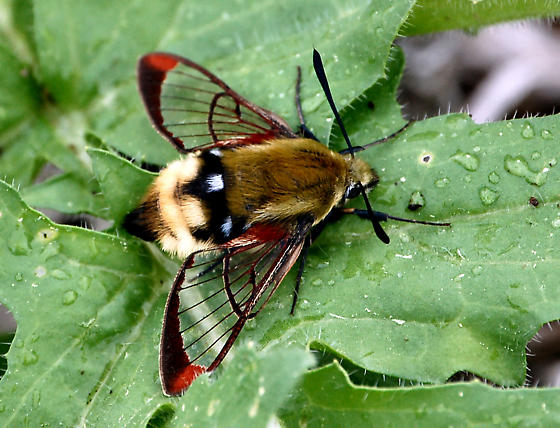Hummingbird Moth - Hemaris thetis
