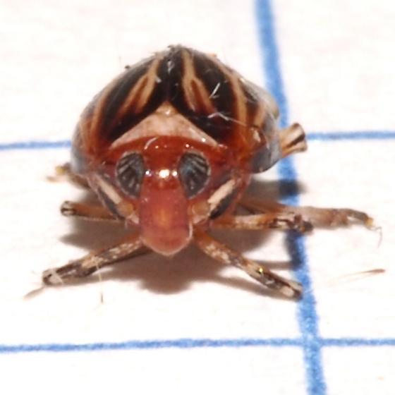 ID Request - Planthopper? - Phylloscelis atra