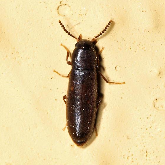 False Darkling Beetle - Rushia longula