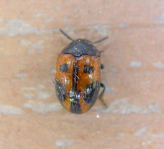 Darkling Beetle - Diaperis maculata
