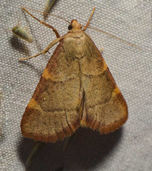 Pink-fringed Dolichomia Moth  - Hypsopygia binodulalis