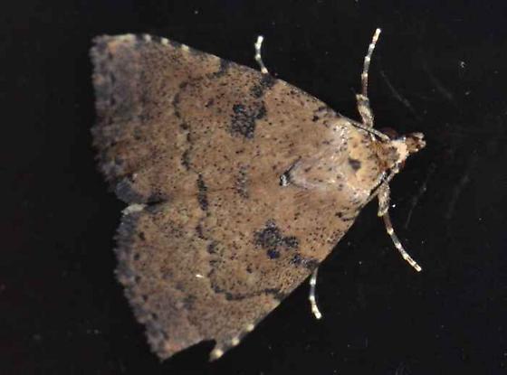 Moth - Arugisa latiorella