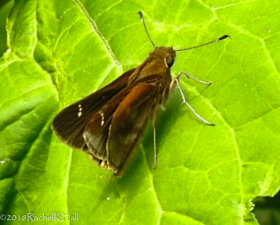Skipper - noticed a purple/grey sheen on wing - Can you help ID? - Lerema accius