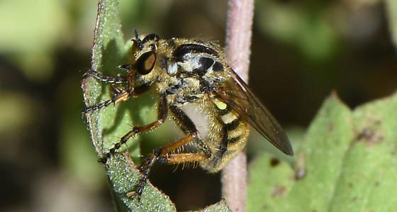 Robber Fly on Snakeroot