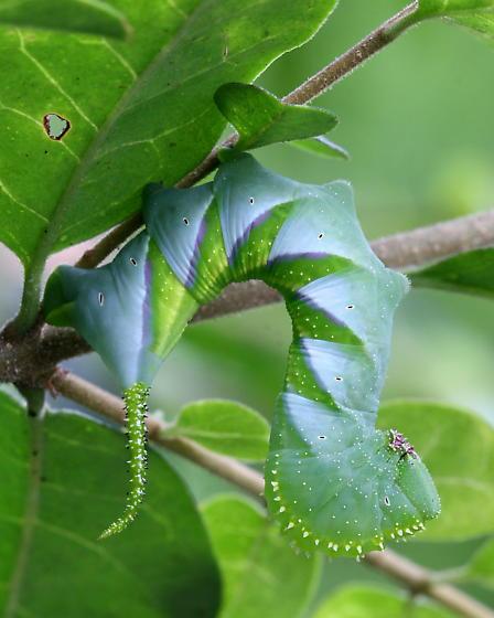 Good Looking Privet Eater - Manduca rustica