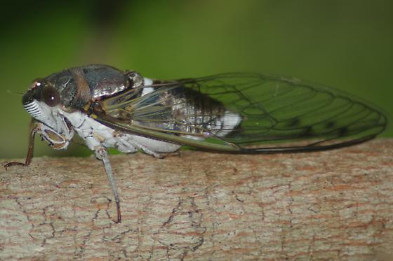 Cicada sp. - Diceroprocta biconica