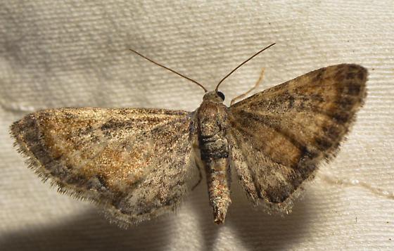 possible Eupithecia coloradensis - Eupithecia coloradensis