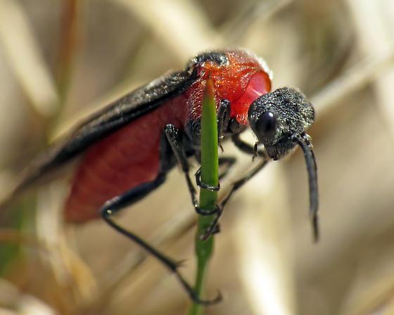 Sawfly? - Dolerus