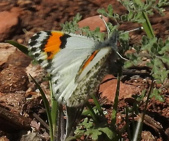 Sara Orangetip ? - Anthocharis thoosa - female