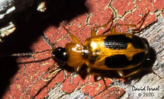 Beetle - Badister